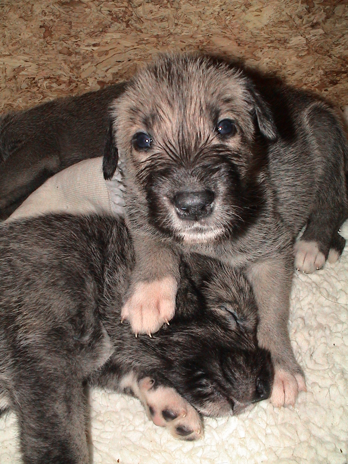 """IRISH WOLFHOUNDS """"OF OUR VALLEY"""""""
